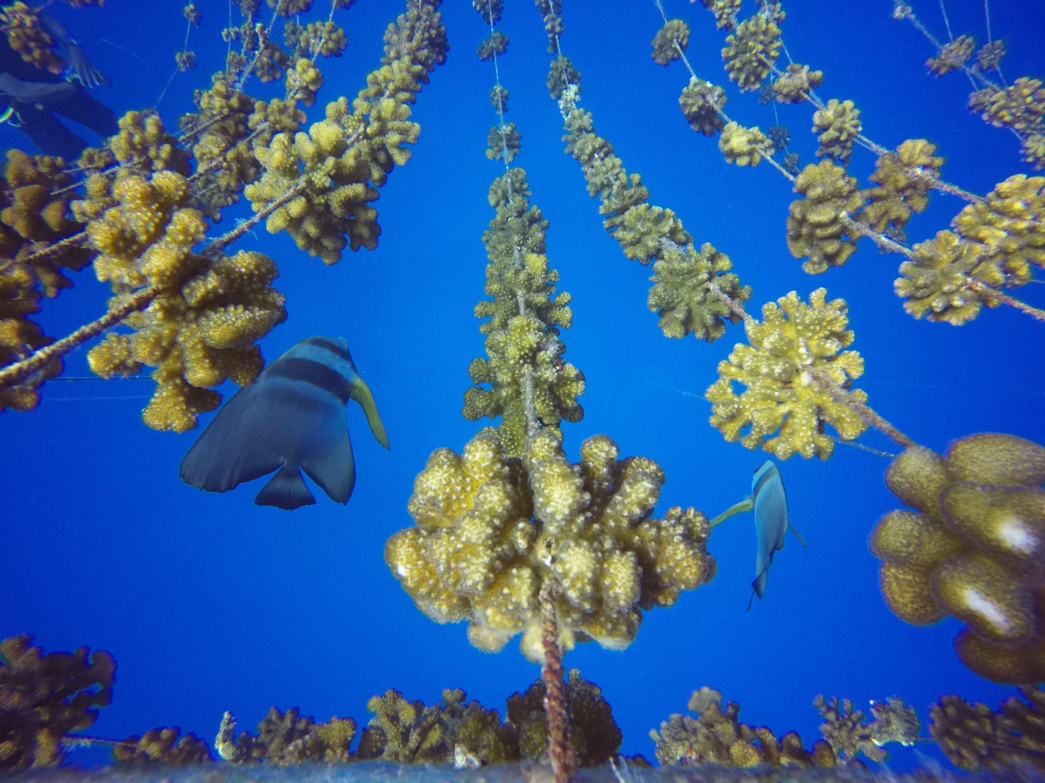 Висадка корала в честь вашої дитини - ви зможете стежити, як зростає ваш корал у міру зростання вашого малюка.