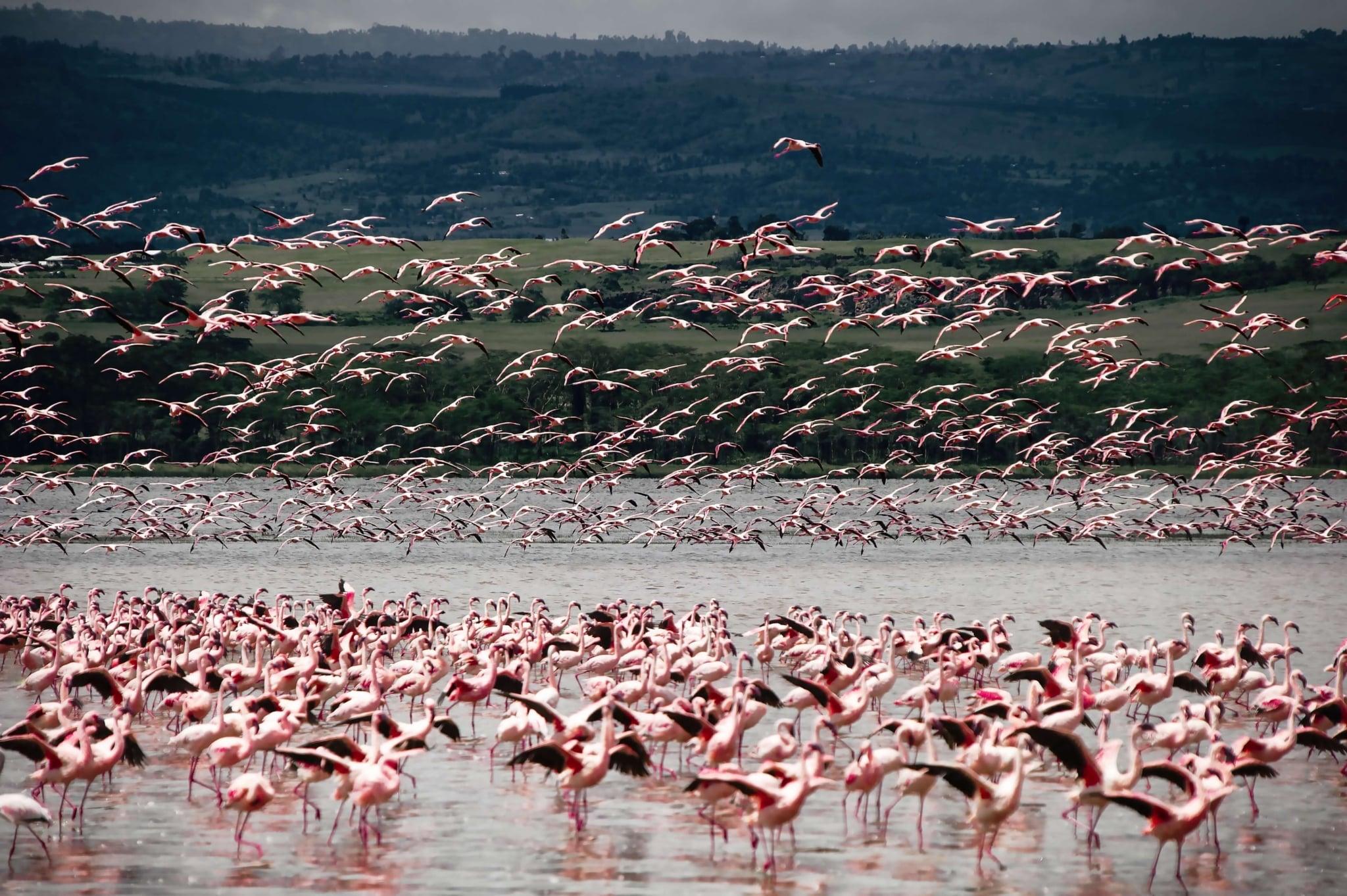 После дождей, чтобы утолить жажду, к озеру в заповеднике Амбосели подходит большое количество животных, водных птиц, особенно прекрасное зрелище создают розовые фламинго.